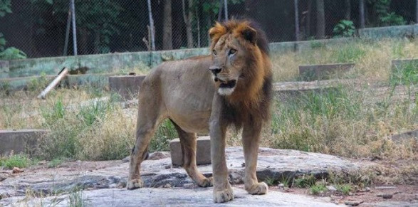 Lion captured after escape from Kano zoo cage